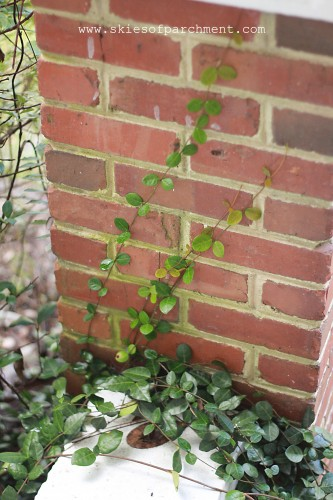 creeping fig on the old brick